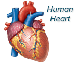 Physical Symptoms of Alcoholism_Heart